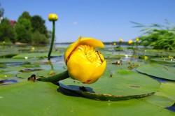 Кубышка желтая для лечения боли в пятке