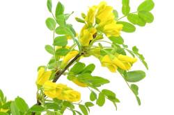Польза желтой акации при болях в стопах