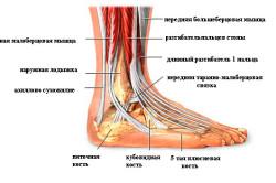 Анатомия подошвенных мышц стопы